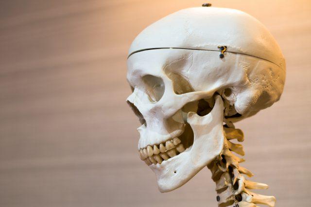 頭蓋骨の骨格