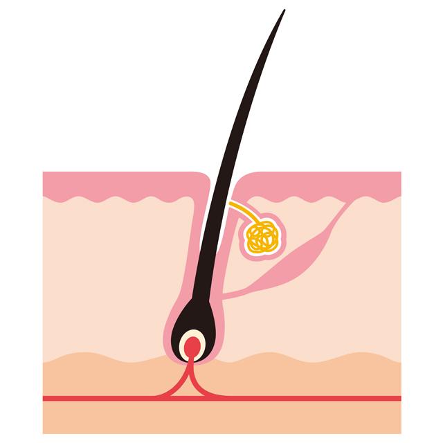 毛根、毛乳頭、毛母細胞と毛細血管