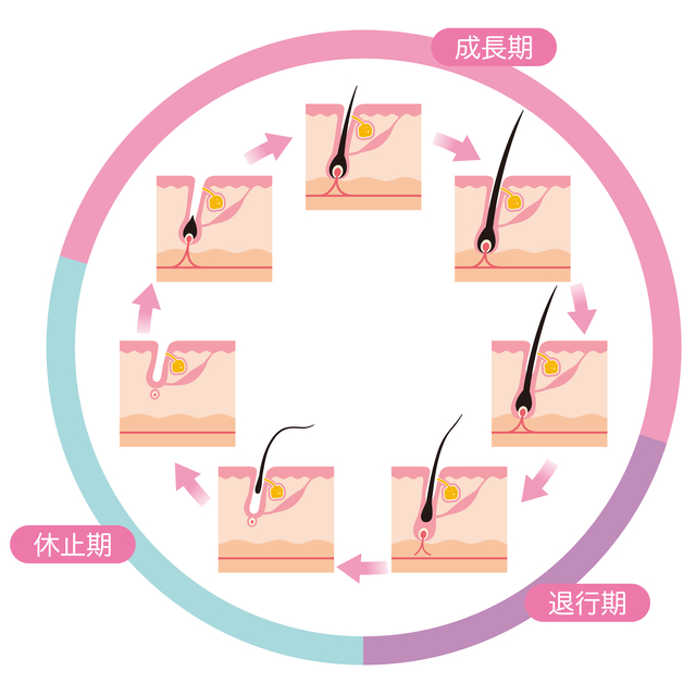 ヘアサイクル(毛周期)