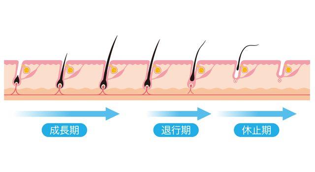 毛周期(成長期、退行期、休止期)