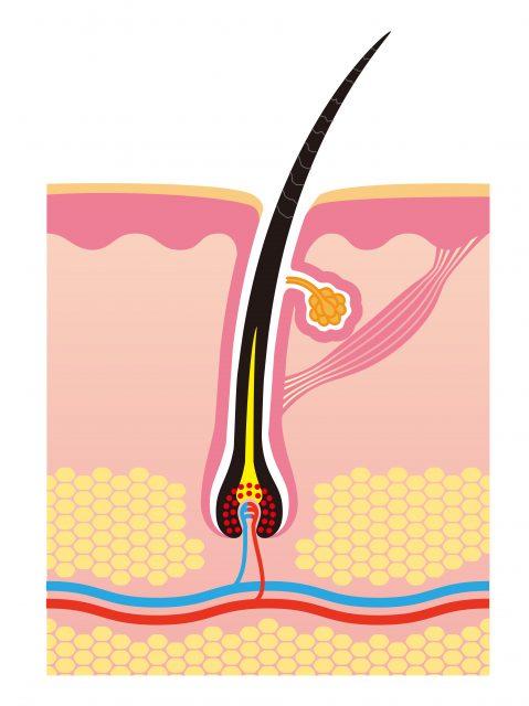 頭皮と毛細血管